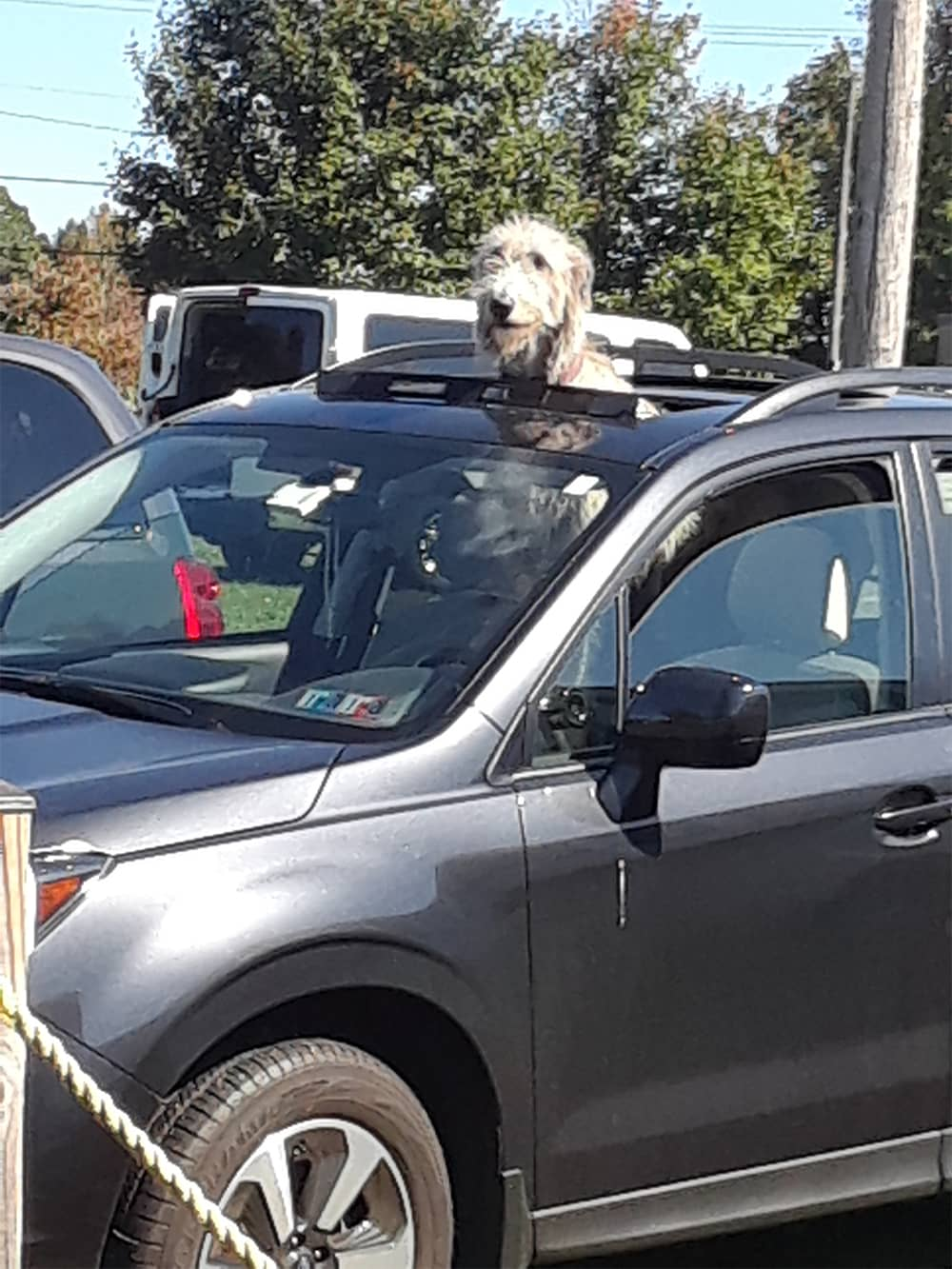 Wolfhound head sticking up through van sunroof.