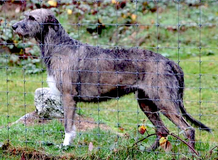 Irish Wolfhound, bitch