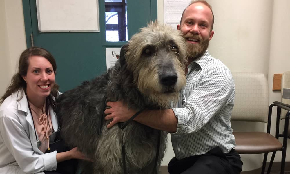 Wolfhound at the vet's office