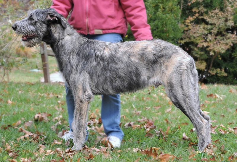 How Fast Does A Puppy Grow Irish Wolfhound Club Of America Inc