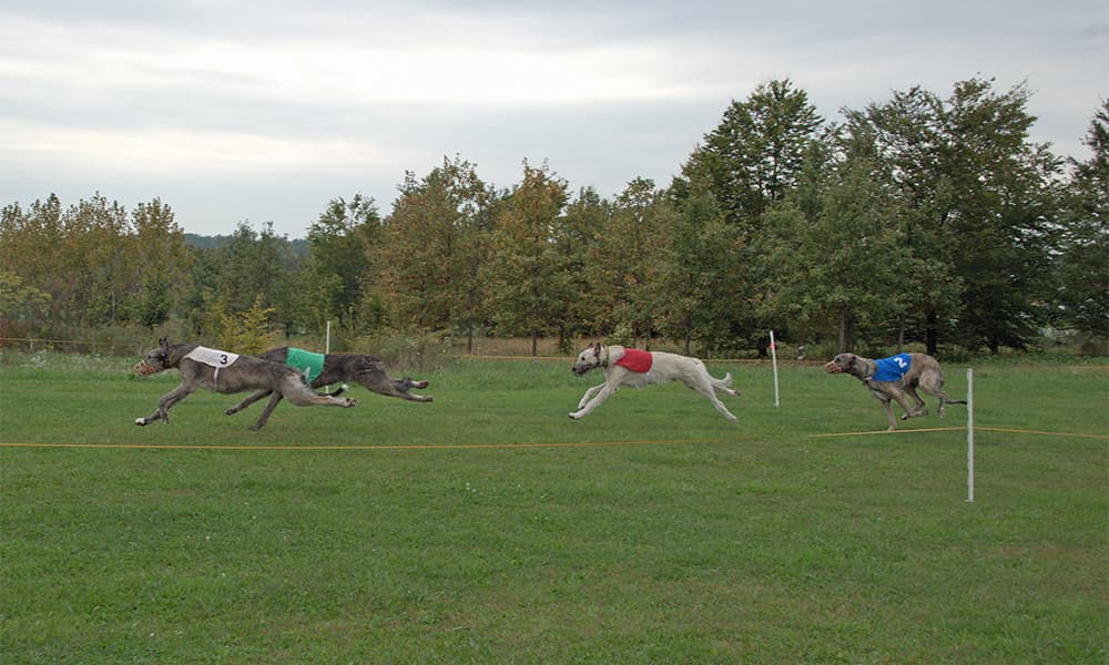 Irish Wolfhounds straight racing at LGRA event
