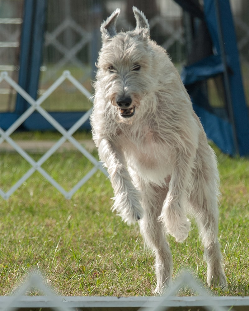 Irish Wolfhound jumping in obedience